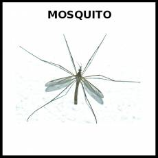 MOSQUITO - Foto