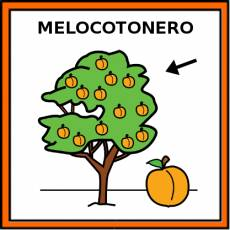 MELOCOTONERO - Pictograma (color)