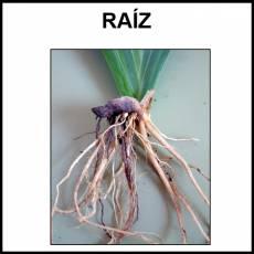 RAÍZ - Foto